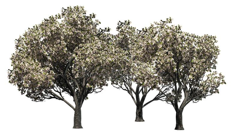 Several apple trees in the spring with blossoms - separated on white background. Apple trees in the spring with blossoms - isolated on white background stock illustration