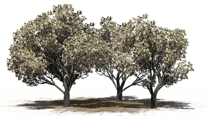 Several apple trees in the spring with blossoms - separated on white background. Apple trees in the spring with blossoms on sand area and shadow education on the stock illustration