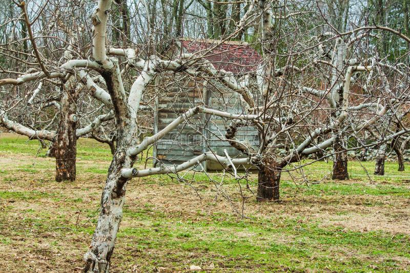 Apple trees in Spring without foliage with shed in background. An apple orchard in spring without foliage with antique shed with red roof in background stock image