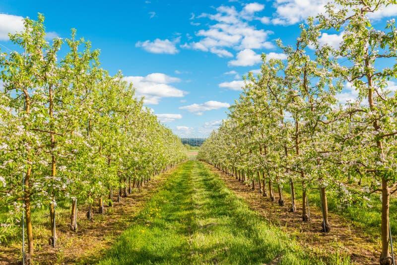 Apple-tuinbloesem in de lente stock afbeeldingen