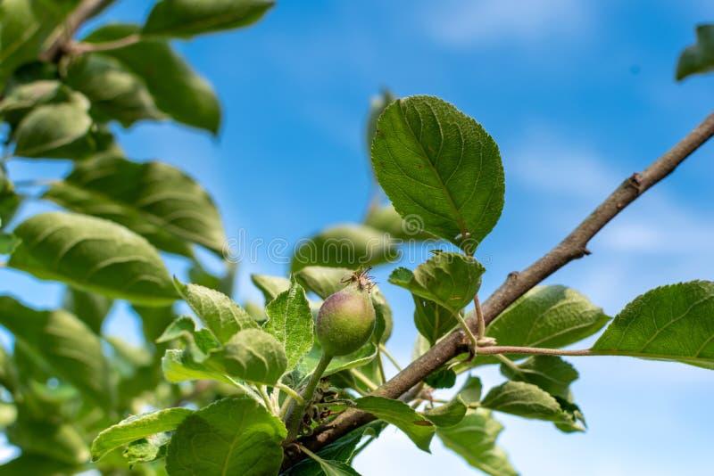Apple utvecklingsetapper Omoget äpple på ett äppleträd royaltyfria bilder