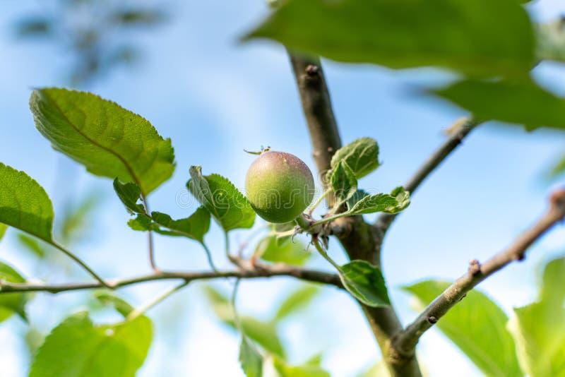 Apple utvecklingsetapper Omoget äpple på ett äppleträd arkivbilder