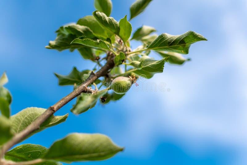 Apple utvecklingsetapper Omoget äpple på ett äppleträd royaltyfri foto