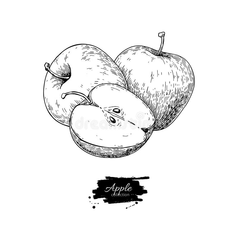 Apple vector drawing. Hand drawn fruit and sliced pieces. Summer stock illustration
