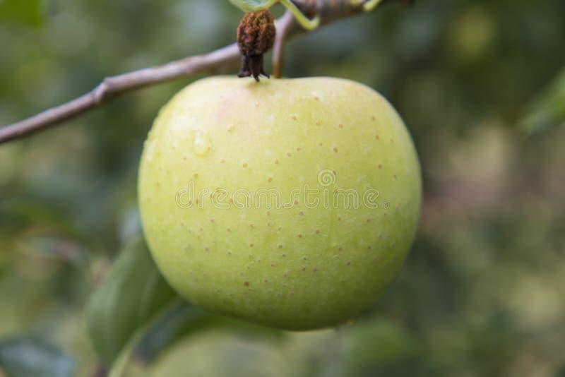 Apple verde che pende dall'albero in frutteto fotografia stock