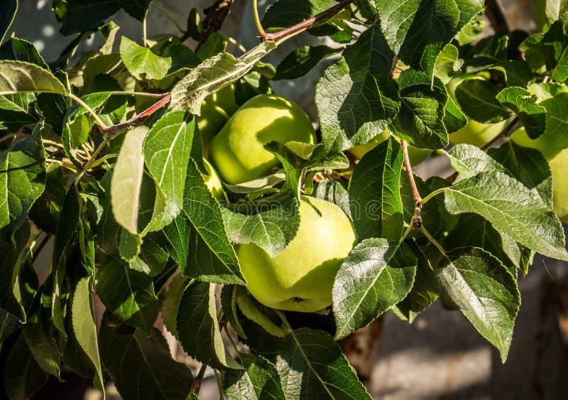 Apple verde fresco fotografia stock libera da diritti