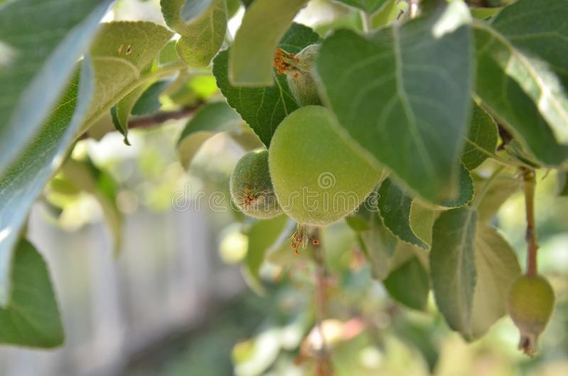 Apple verde no jardim cresceu fotos de stock royalty free