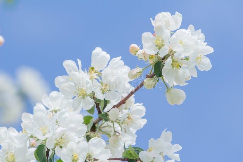 Apple-vertakken de de boom witte knoppen zich en bloemen op de lente bij blauwe hemelachtergrond royalty-vrije stock afbeeldingen