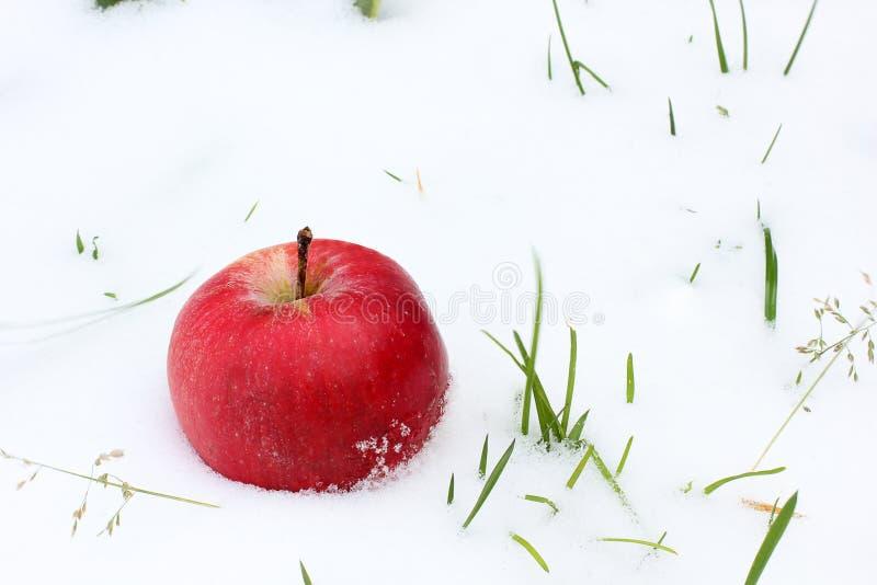 Apple w śniegu Czerwony jabłko w śniegu zamkniętych w górę trawie i pierwszy śnieg Jesień i śnieg Apple obrazy royalty free