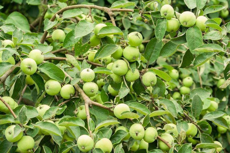 Apple, wat rijk heeft plaatst Veel groene appelen stock afbeelding