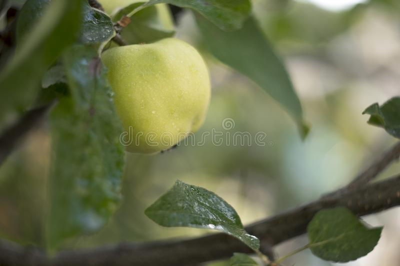 Apple that weigh on the branch in the garden stock photography