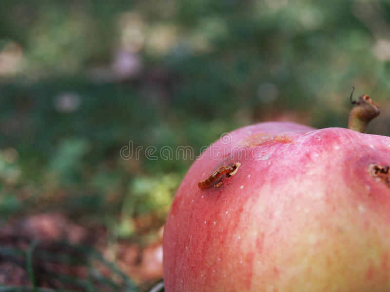 Apple with worm royalty free stock photo