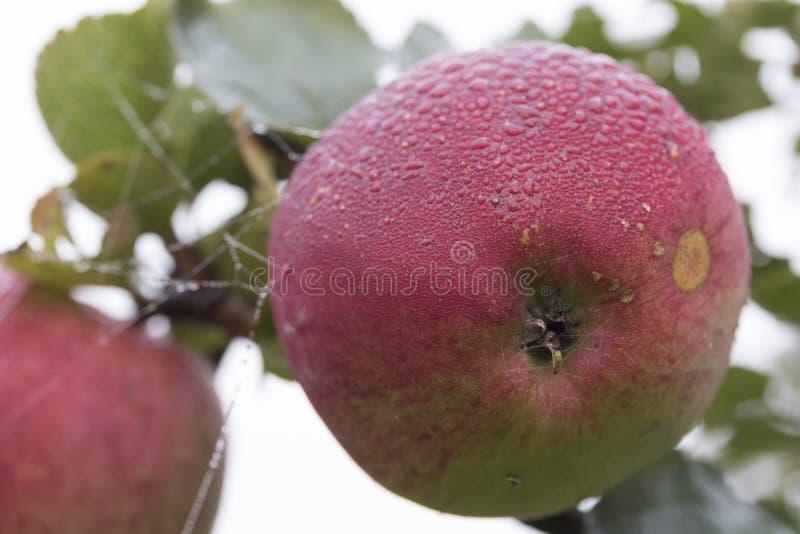 Apple z rosa kroplami zdjęcia royalty free