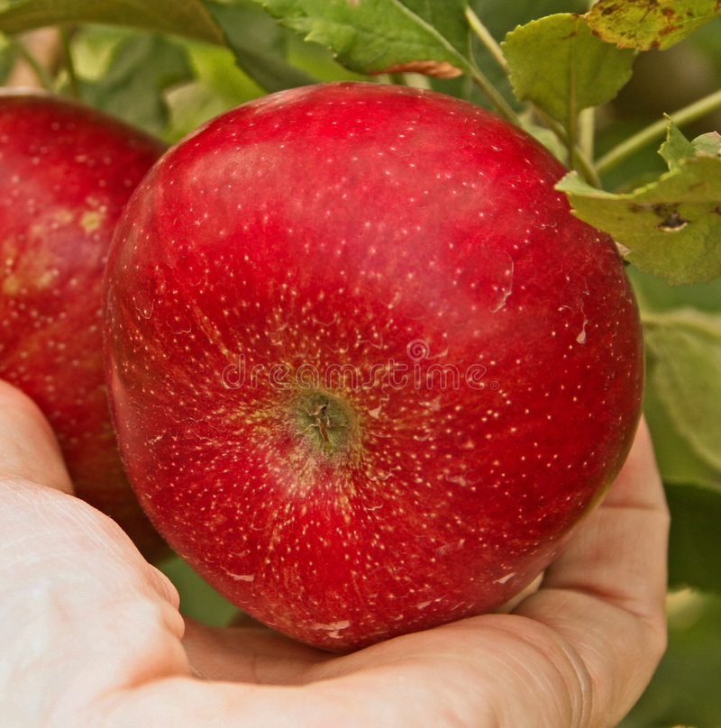 apple zrywania obraz royalty free