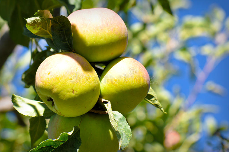 Apple-Zweig stockfoto