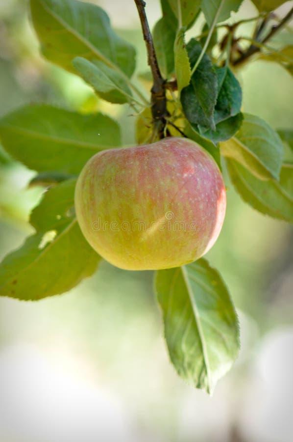 Apple-Zweig lizenzfreie stockbilder