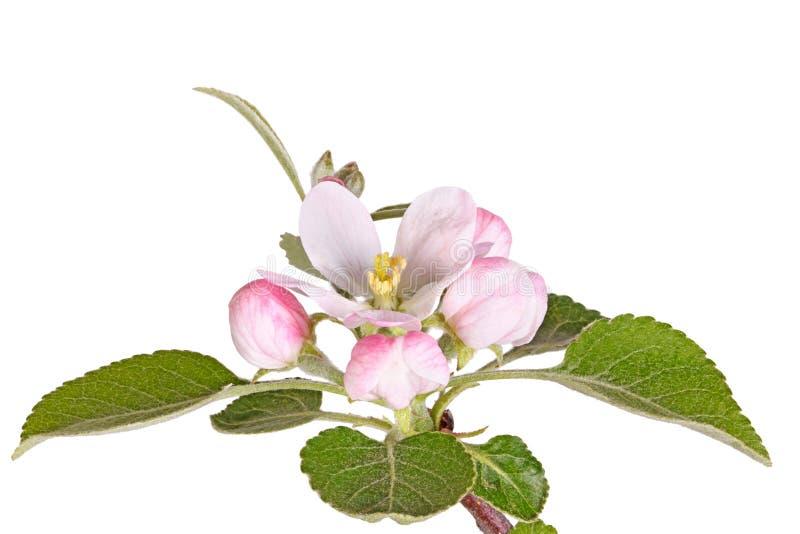 Appleblossom, οφθαλμοί και φύλλα που απομονώνονται ενάντια στο λευκό στοκ εικόνα
