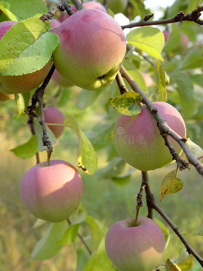Apples. Branch with red and yellow apples stock images