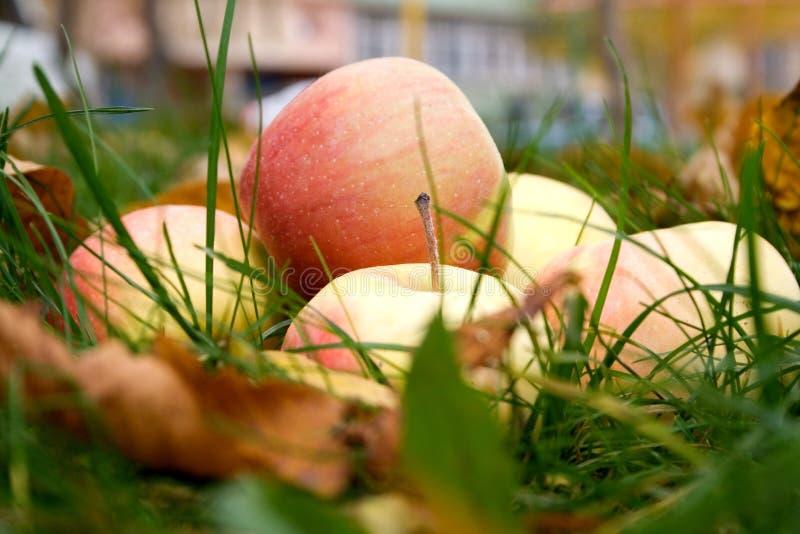 Download Apples stock photo. Image of garden, grass, green, grassland - 3568012