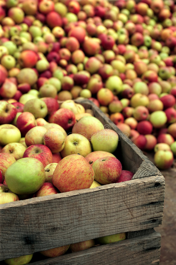 Apples for apple juice stock image