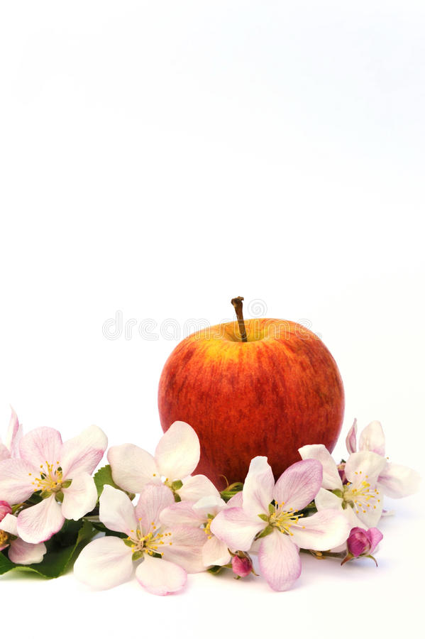 Apples and apple-tree blossoms. Isolated on white stock photo