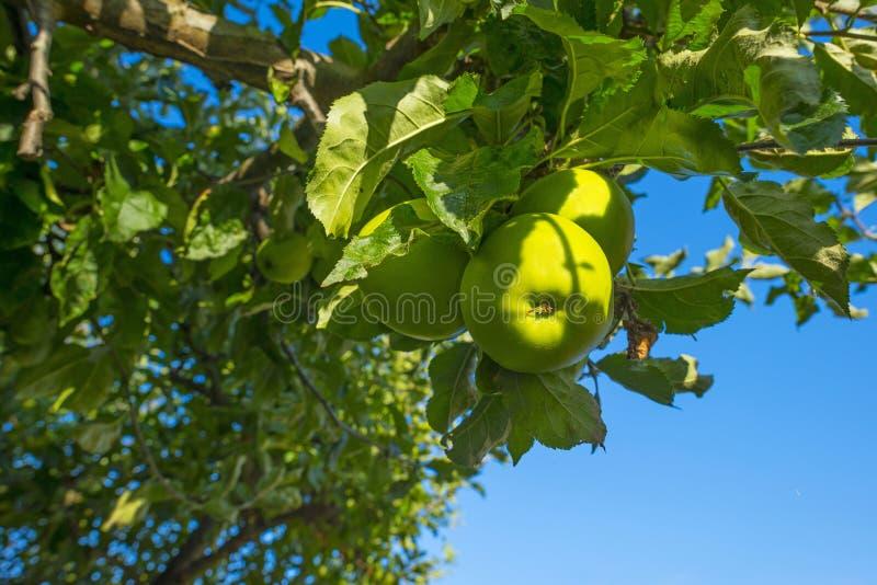 Apples in an apple tree in a garden below a blue sky in summer. Apples in an apple tree in a garden below a blue sky in sunlight in summer royalty free stock photo