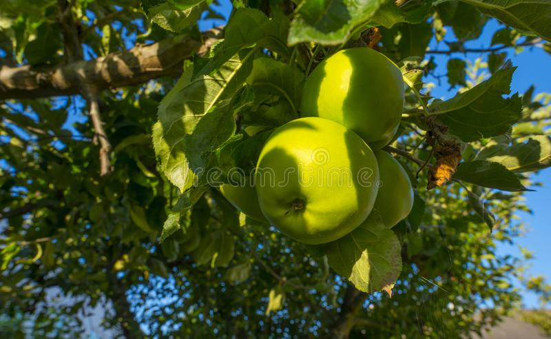 Apples in an apple tree in a garden below a blue sky in summer. Apples in an apple tree in a garden below a blue sky in sunlight in summer royalty free stock images