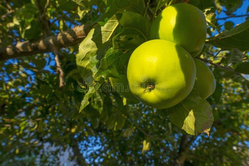 Apples in an apple tree in a garden below a blue sky in summer. Apples in an apple tree in a garden below a blue sky in sunlight in summer stock photo