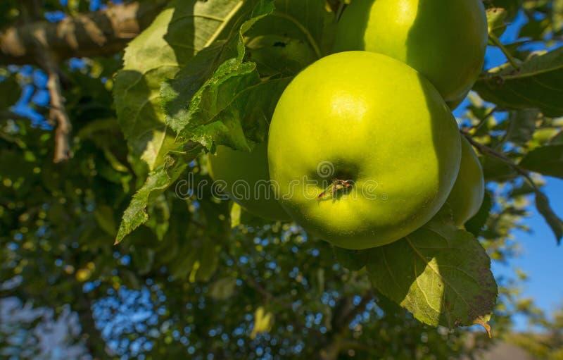 Apples in an apple tree in a garden below a blue sky in summer. Apples in an apple tree in a garden below a blue sky in sunlight in summer stock photography