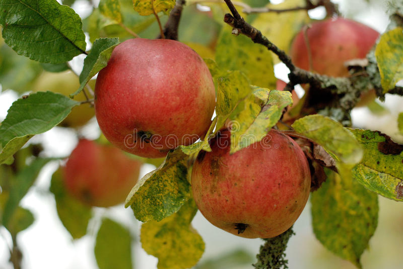 Apples in apple tree royalty free stock photography