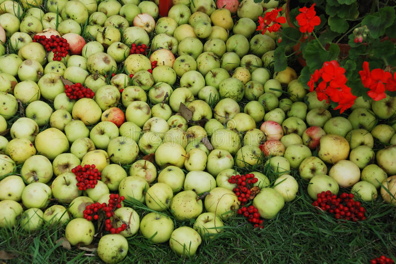 Apples and ashberry stock photos