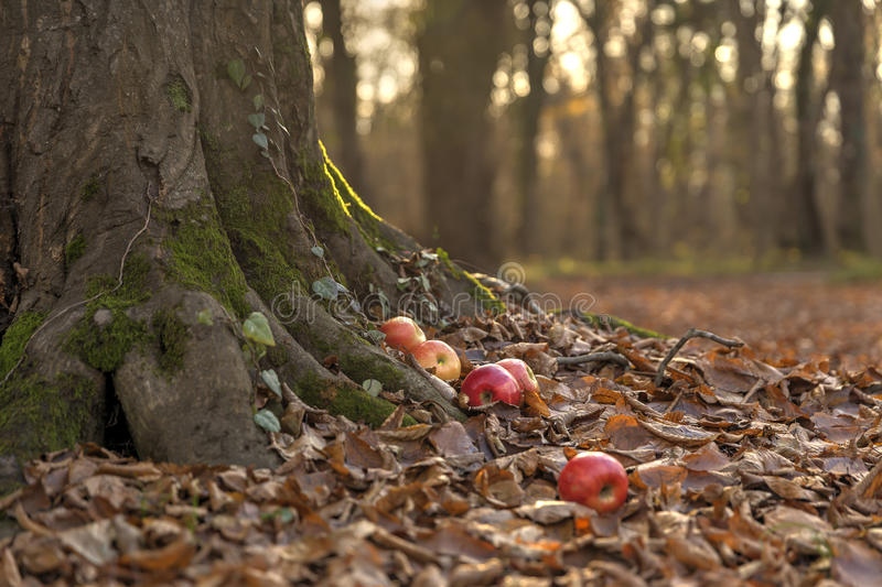 Apples in the autumn forest royalty free stock image