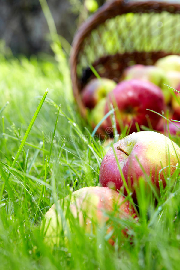 Download Apples in the Basket. stock image. Image of fresh, crop - 19732467