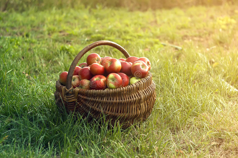 Download Apples in the Basket stock photo. Image of ripe, farm - 26495482