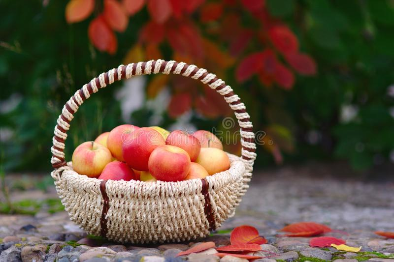 Download Apples in the Basket stock image. Image of outdoor, autumn - 26625723