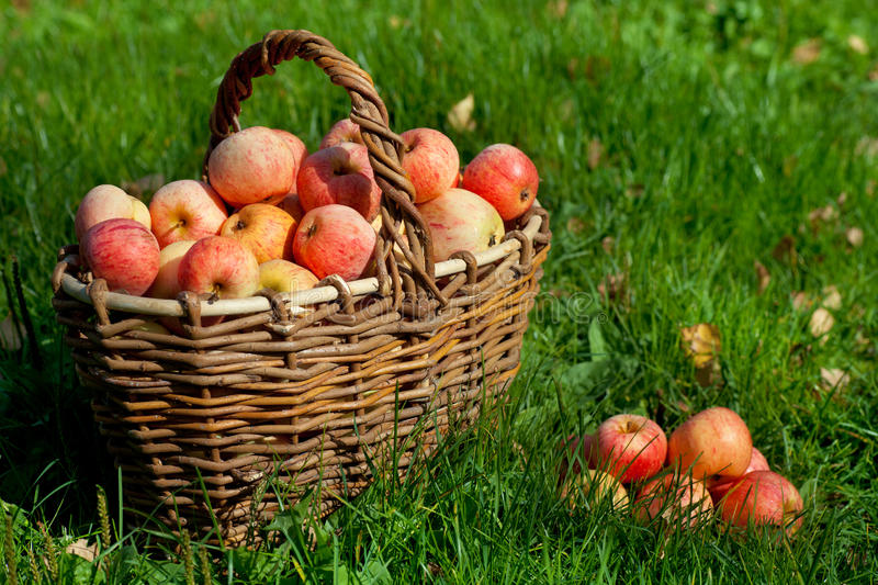 Download Apples In A Basket Stock Images - Image: 26860724