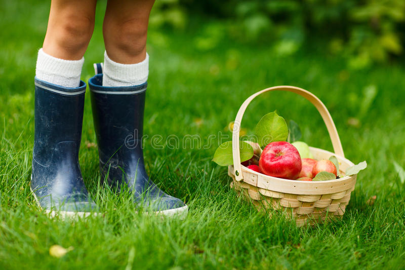 Download Apples in a basket stock image. Image of organic, outdoor - 34357109