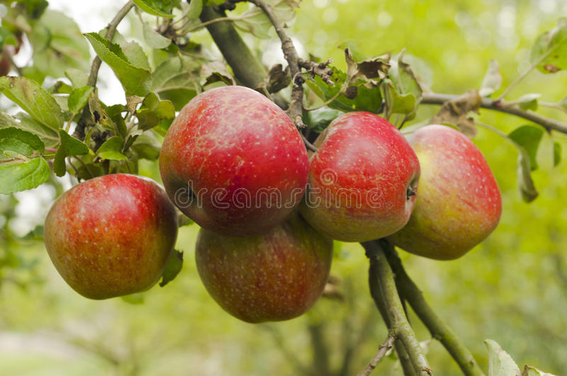 Download Apples on the branch stock image. Image of farm, leaves - 21760759