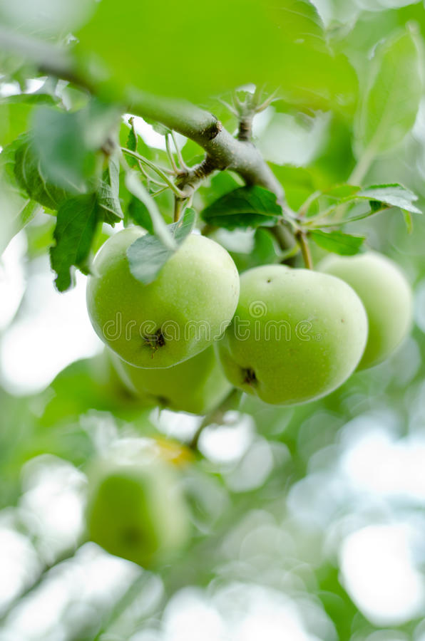 Download Apples on branch stock image. Image of cheap, full, nature - 25881815