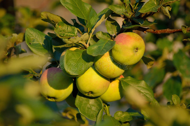 Apples on a branch stock images