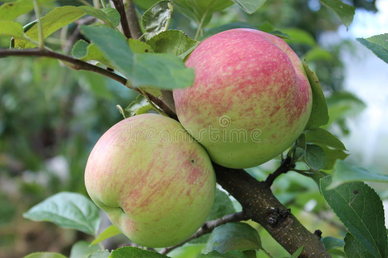 apples on a branch stock image