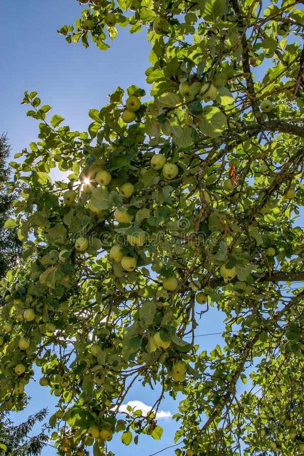 Apples on the branches of a tree on a sunny day. The sun breaks through the leaves. royalty free stock photo