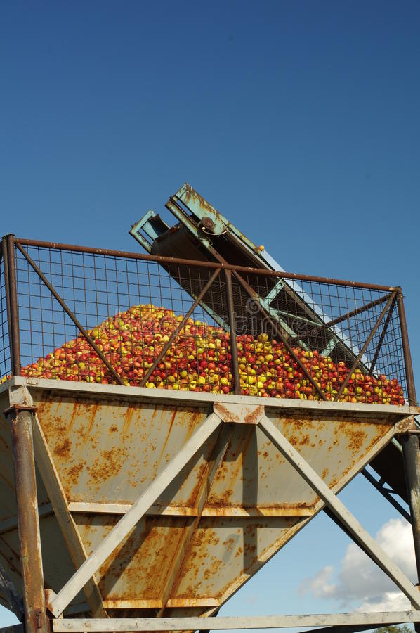 Apples conveyor belt royalty free stock photography