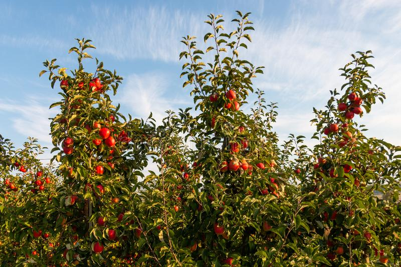 Apples on cultivated apple trees royalty free stock photo
