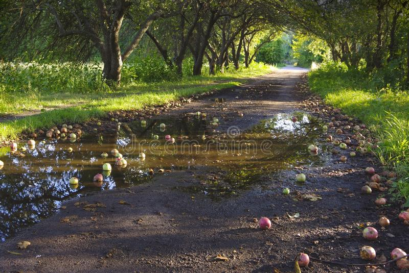 Apples lying on the road among the apple trees in the garden. royalty free stock photo