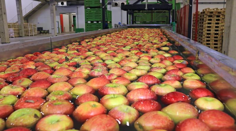 Apples packing warehouse stock image