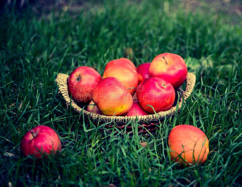 Apples in basket. Fresh apples from garden royalty free stock images