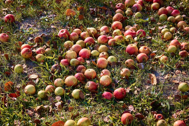 Apples on the ground under an apple tree during autumn royalty free stock images