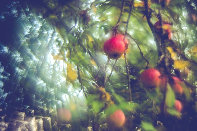 Apples hanging on a tree, autumn season royalty free stock image