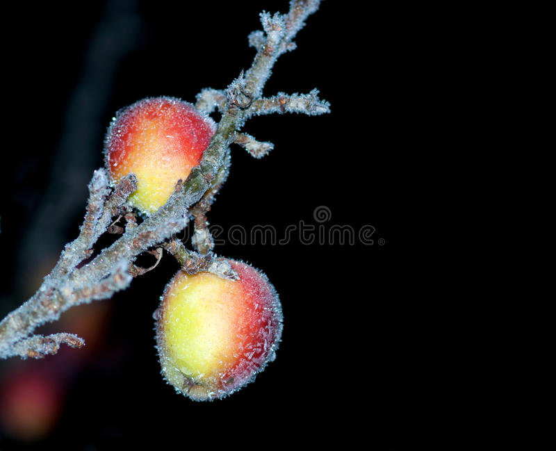 Apples in hoar frost. Apples covered in hoar frost on black background stock images